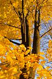 Autumn maple leaves trunk yellow background tree