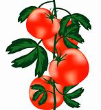 Ripe tomatoes on bush