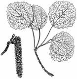 Plant Populus tremula