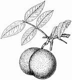Plant Juglans nigra
