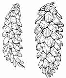Plant Pinus strobus (Eastern white pine)