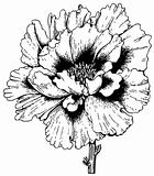 Plant Paeonia arborea (Tree peony)