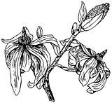 Plant Magnolia stellata (Star magnolia)