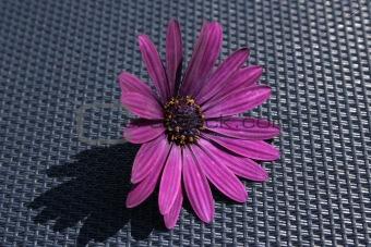 african cape daisy