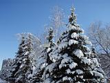 Snow-covered evergreens and trees