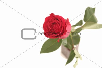 One red rose on a white background