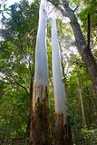 two tall gum trees