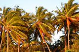 Top of coconut palm trees