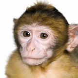 baby Barbary Macaque - Macaca sylvanus