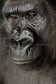 Young Silverback Gorilla