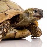 Herman's Tortoise - Testudo hermanni