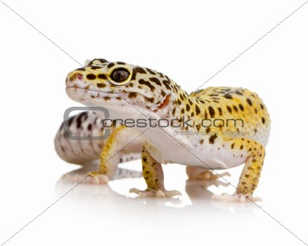 Leopard gecko - Eublepharis macularius