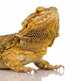 Lawson&#39;s dragon - Pogona henrylawsoni
