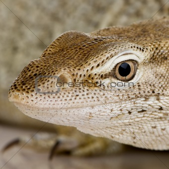 Monitor lizard - Freckled Monitor - Varanus tristis orientalis