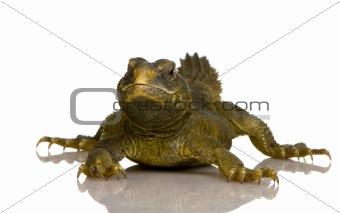 Dabb Lizard - Uromastyx aegyptia