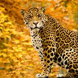 Jaguar - Panthera onca