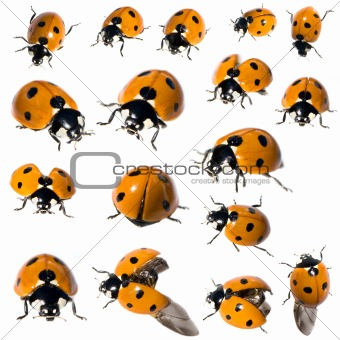 7 spot ladybird in different positions