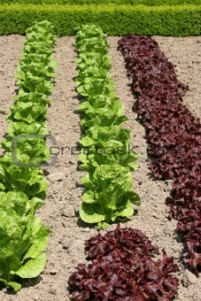 Organic Lettuces