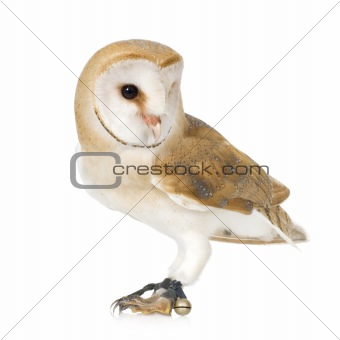 Common Barn Owl (4 mounths)