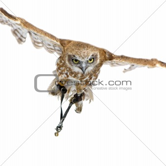 New Zealand owl (3 years)