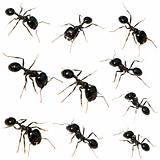 10 Black ants