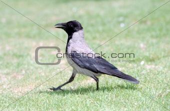Gray Crow