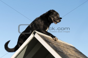old labrador retriever in agility
