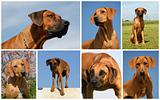 rhodesian ridgeback