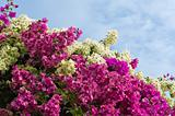 Bougainvillea bushes