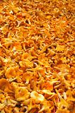 yellow chanterelles mushrooms