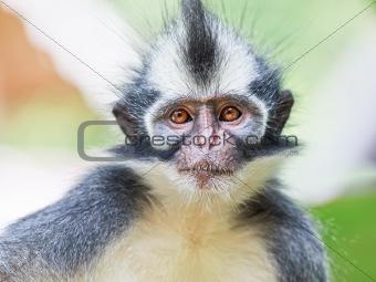 Thomas's leaf monkey