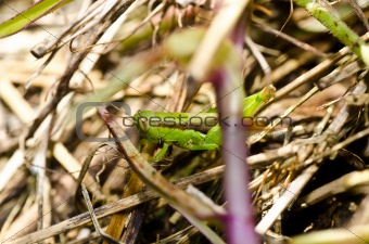 grasshopper in green nature