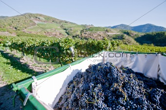Tractor full with Grapes