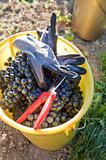 Bucket full with wine grapes