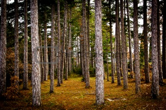 Forest of aligned pines, Tuscany (Italy).