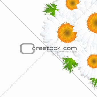 Camomile With Leaf
