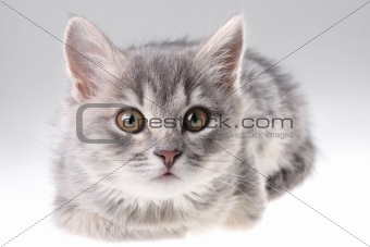 Grey kitten portrait