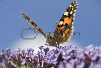 Painted Lady Butterfly (Vanessa cardui) on Buddleia davidii