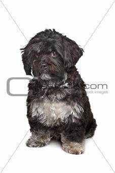 little black boomer dog