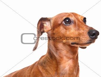 dachshund over white background
