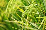 Close up of green paddy rice