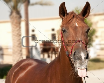 Sharp-tongued horse