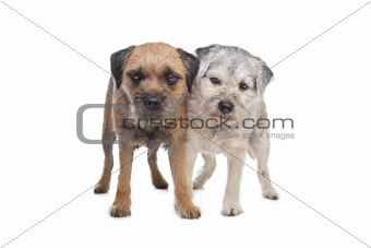 Old and Young border terrier dogs