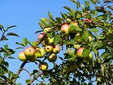 apple on branch of the aple trees