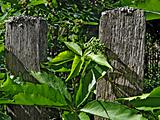 wild grape on old fence