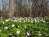 snowdrops in spring wood 
