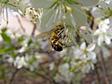 bee on flower of the cherries      