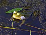 frog in marsh