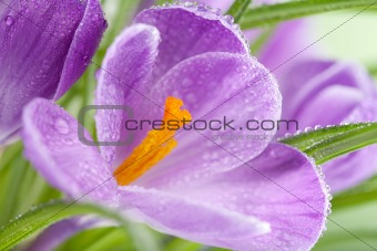 crocus flower