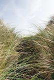 tall sand dune grass